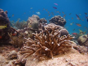 12 Copy of Staghorn Coral Cluster Outplanted at Cane Bay, St. Croix One Year Later K.Lewis